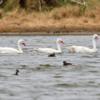 Coscoroba coscoroba / Rollandia rolland<br /> Capororoca / Mergulhão-de-orelha-branca<br /> Coscoroba Swan / White-tufted Grebe<br /> Coscoroba - Guyratî ete guasu / Macá chico - Ype apa