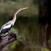 Anhinga anhinga<br /> Biguatinga fêmea<br /> Anhinga female<br /> Aninga - Mbigua mbói