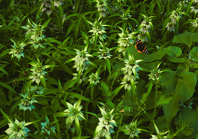 Red Admiral Butterfly and Spotted Beebalm