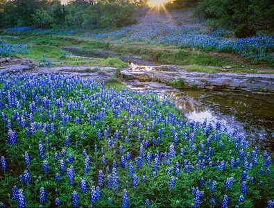 Bluebonnets and Creek Near Sunset