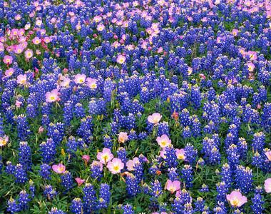 Pink Evening Primrose and Bluebonnets