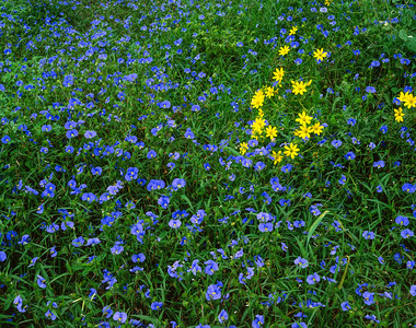 Dayflowers and Groundsel