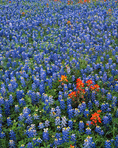 Mixed Bluebonnets and Indian Paintbrush