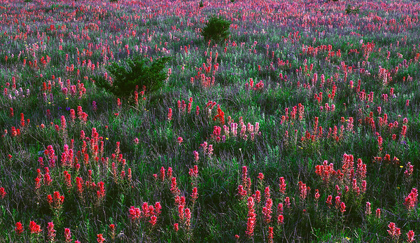Field of Downy Paintbrush