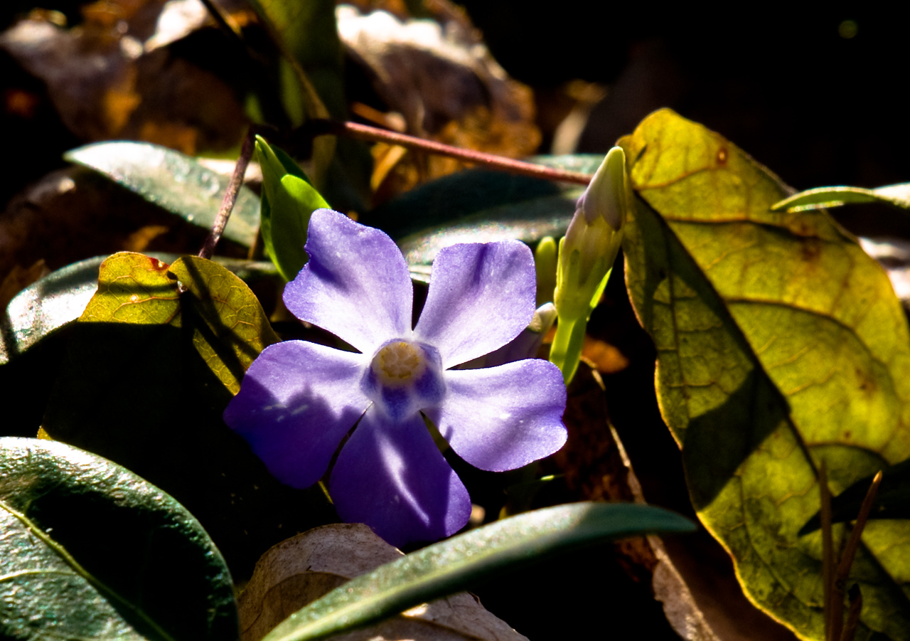 Back lit periwinkle