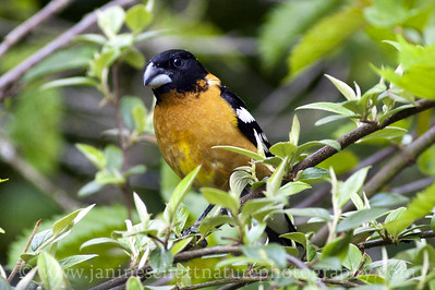 Male Black-headed Grosbeak. Photo taken near Bremerton, Washington.