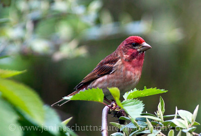 Male Purple Finch.  Photo taken near Bremerton, Washington.