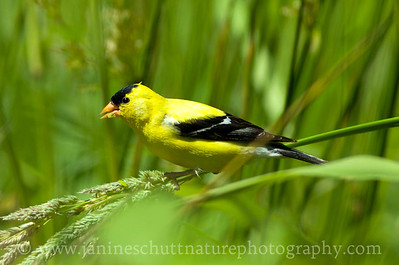 Male American Goldfinch at Nisqually National Wildlife Refuge near Olympia, Washington. Photo taken along the Twin Barns Loop Trail.