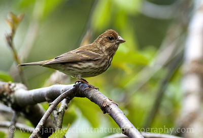Female Purple Finch.  Photo taken near Bremerton, Washington.