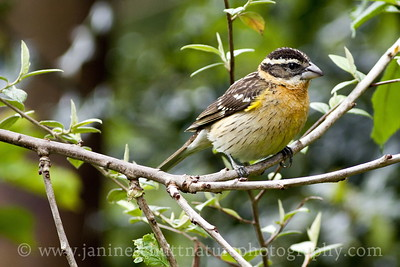 Female Black-headed Grosbeak. Photo taken near Bremerton, Washington.