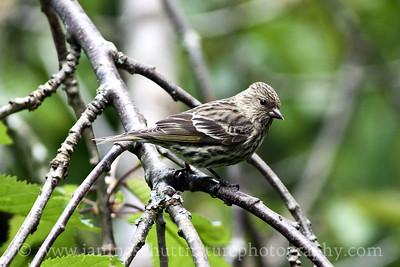 Pine Siskin.  Photo taken near Bremerton, Washington.