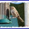 Common Redpoll - April 8, 2008 - Lr. Sackville, NS