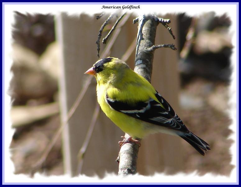 American Goldfinch - April 28, 2008