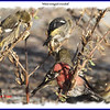 White-winged Crossbill - November 10, 2012 - River Bourgeois, Cape Breton, NS