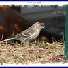 Common Redpoll - April 9, 2008 - Lr Sackville, NS