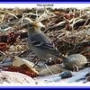 Pine Grosbeak - December 30, 2007 - Hartlen Pt., Eastern Passage, NS