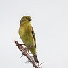 Lesser Goldfinch, female (Spinus psaltria)