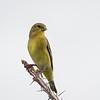 Lesser Goldfinch, female (Spinus psaltria)
