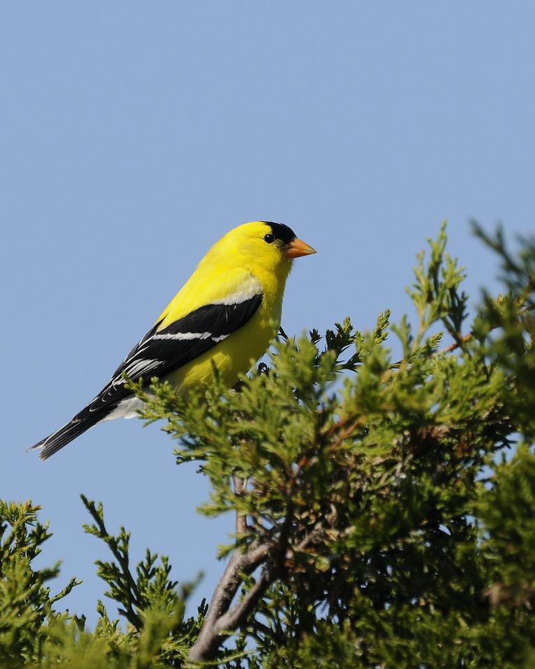 Morning Goldfinch -Sachuset NWR