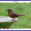Purple Finch - September 15, 2006 - Lr Sackville, NS
