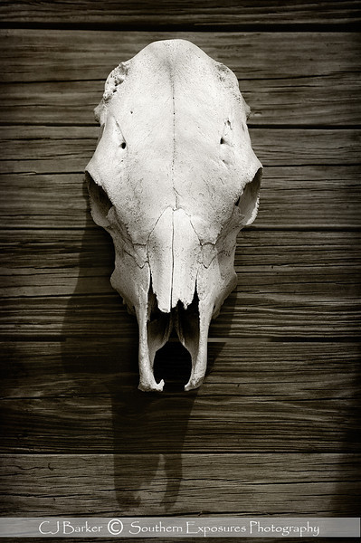 Hill Country Cowskull