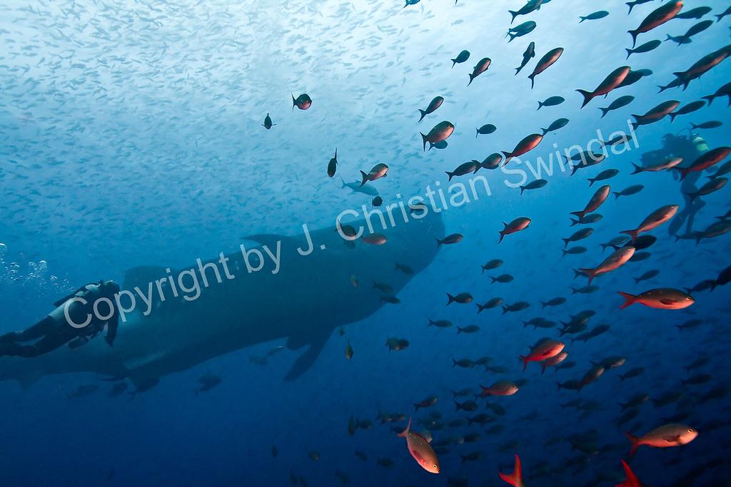 Whale shark<br /> Isla Darwin, Galapagos