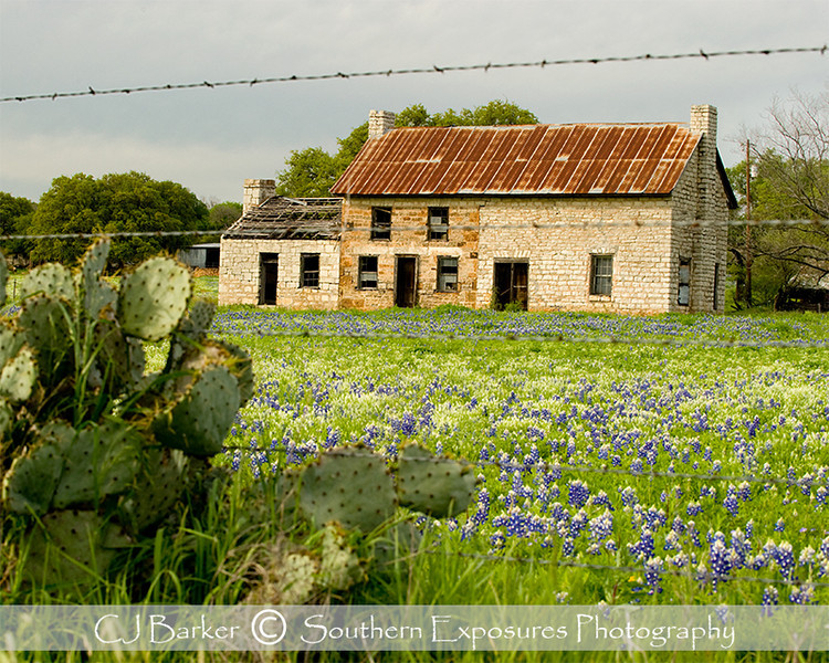 Old farmhouse in a bluebonnet field in Marble Falls, Texas
