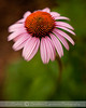 Soft focus Echinacea shot with Lensbaby Composer lens.