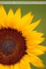 Lensbaby Sunflower