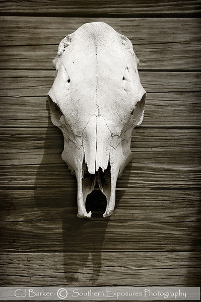 Cowskull on wood