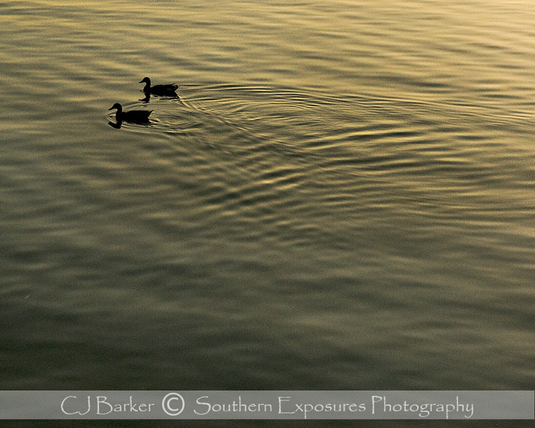 Ducks on Lake Buchanan near Burnet, Texas, at sunset