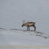A Reindeer Finds Food Free of Snow