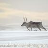 A Reindeer Trudges Through The Snow