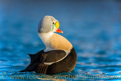 King Eider Display