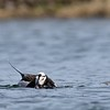 Long tailed Duck feeding on insects.