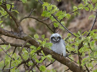 Young Hawk Owl.