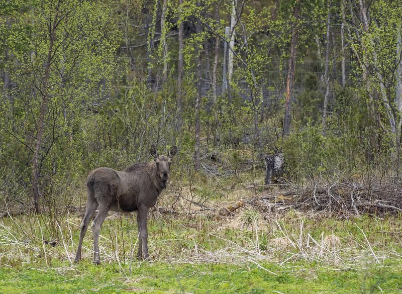 Young Elk.