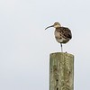 Whimbrel on telegraph pole.