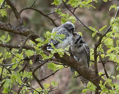 Hawk Owl feeding young.
