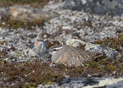 Dotterel on nest