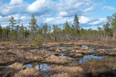 Forest bog in Pasvik, Norway