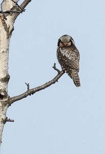 Hawk Owl.
