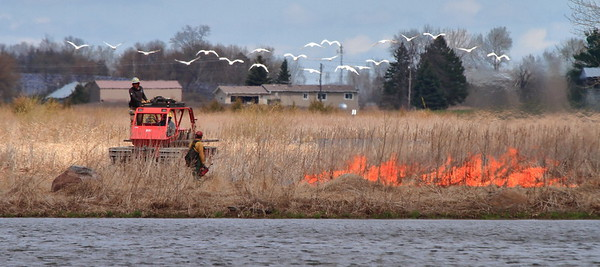 Trumpeter Swans evacuating Pelican Lake during prescribed burn