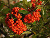 Firethorn or Pyracantha Festival : This brilliant shrub is in front of my home. It never fails to bring splashes of color, for months each year. Steer clear of the dangerous thorns!