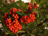 Firethorn or Pyracantha Bush