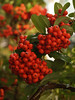 Firethorn or Pyracantha Bush - Quakertown, PA