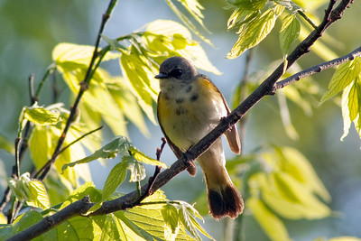 I believe this is a Morning Warbler?