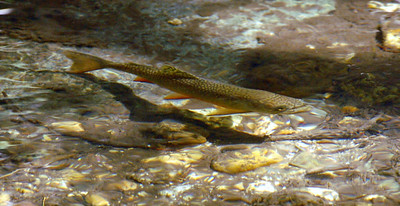 Philmont Cito River Trout