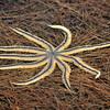 Starfish<br /> Sebastian, Florida<br /> 050-5112a