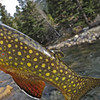 Montana Brook Trout
